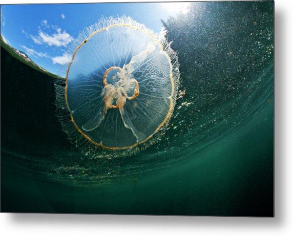 Moon Jellyfish, Alaska Metal Print by Paul Souders