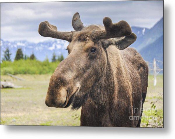 Moose In Alaska Usa Metal Print