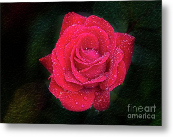 Morning Mist On Red Rose Metal Print