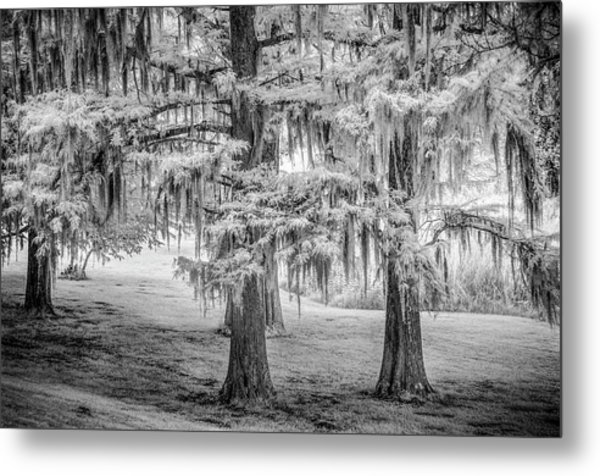 Moss Laden Trees 4132 Metal Print