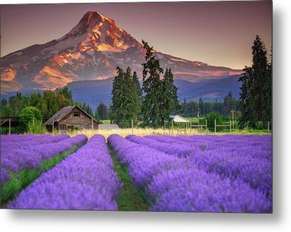Mount Hood Lavender Field  Metal Print