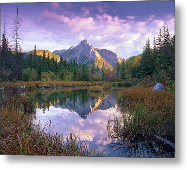 Mount Lorette And Spruce Trees Metal Print by Tim Fitzharris/ Minden Pictures