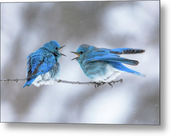 Mountain Bluebirds On A Snowy Day Metal Print
