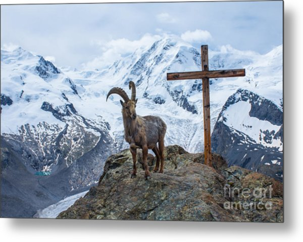 Mountain Goat The Symbol Of Switzerland Metal Print