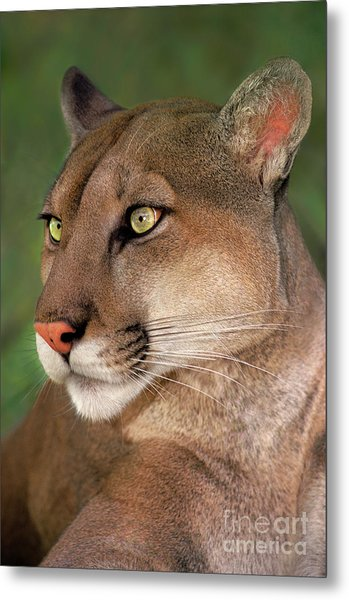 Metal Print featuring the photograph Mountain Lion Portrait Wildlife Rescue by Dave Welling