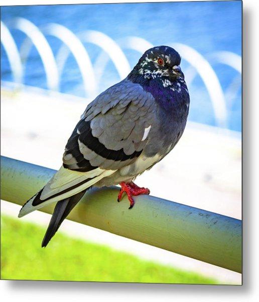 Mr. Pigeon Metal Print