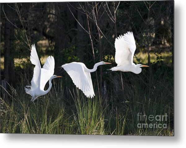 Multiple Exposures Of Large White Bird Metal Print