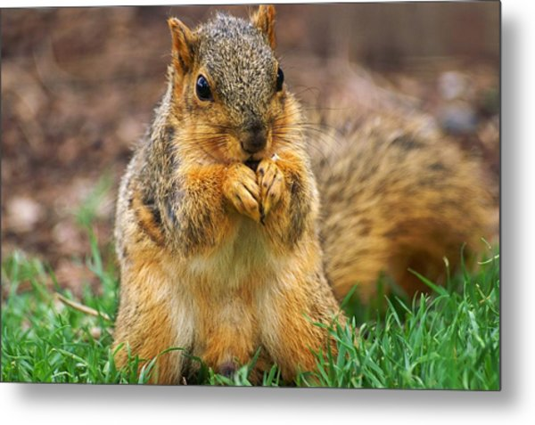 Munching Cute Fox Squirrel Metal Print