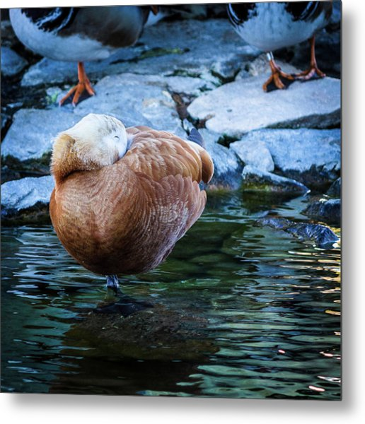 Napping At The Pond Metal Print