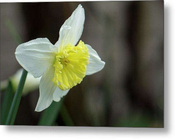 Narcissus - 19 4918 Metal Print