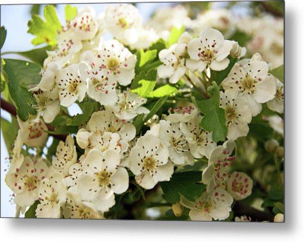 Neston.  Hawthorn Blossom. Metal Print