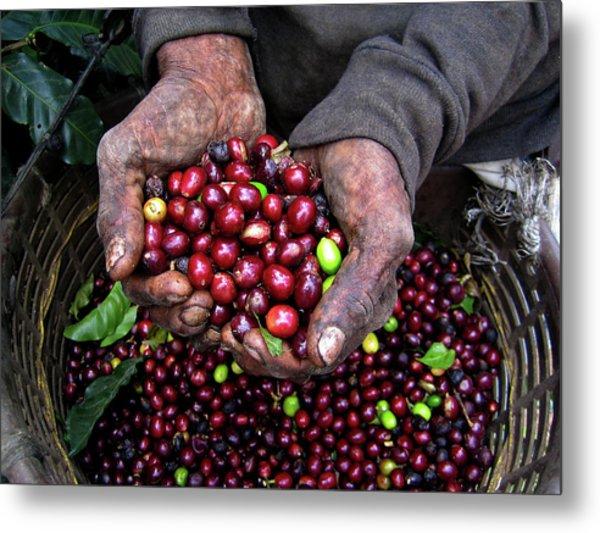Nicaraguan Coffee Picker Metal Print
