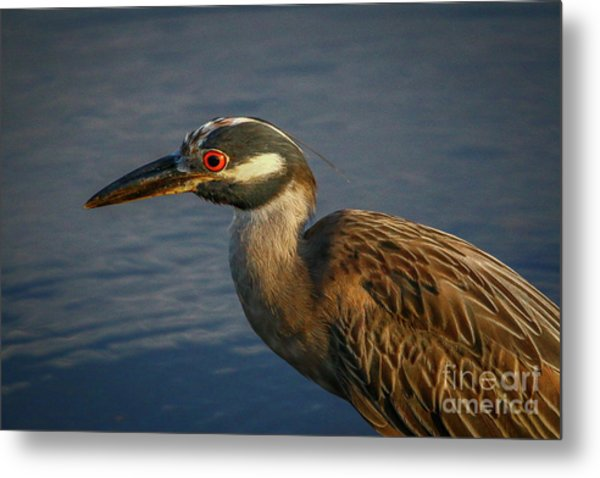 Metal Print featuring the photograph Night Heron Portrait by Tom Claud