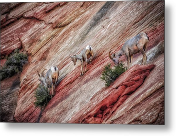 Metal Print featuring the photograph Nimble Mountain Goats 5694 by Donald Brown