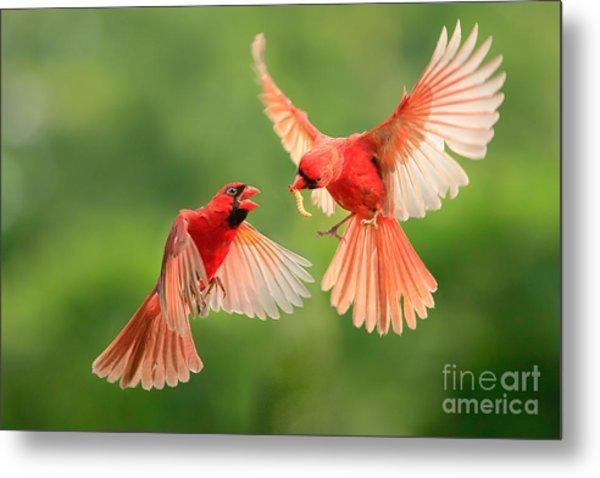 Northern Cardinal, Wildlife Metal Print