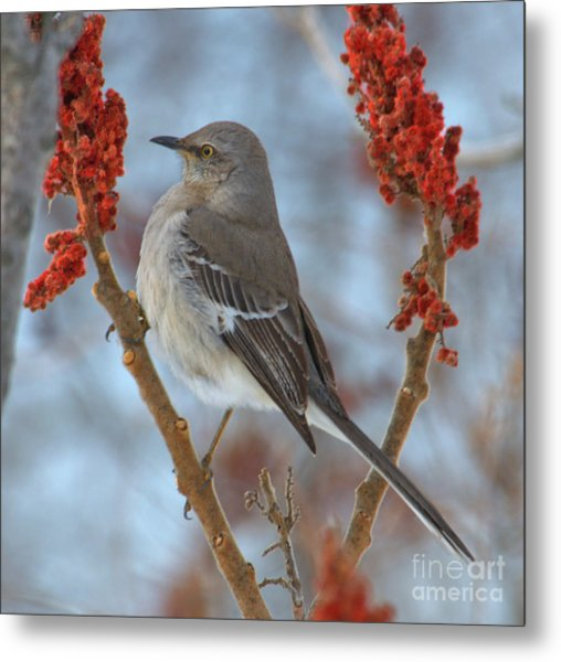 Metal Print featuring the photograph Northern Mockingbird by Debbie Stahre