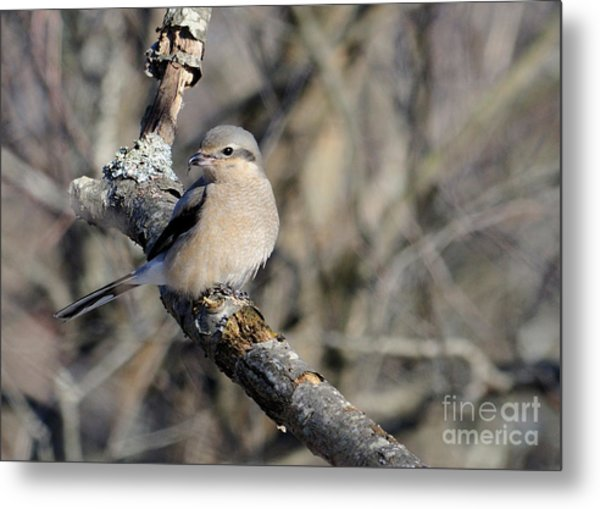 Northern Shrike Metal Print