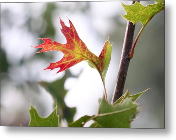 Oak Leaf Turning Metal Print