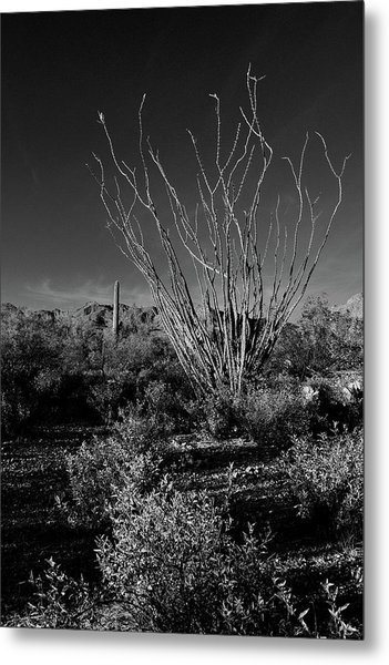 Metal Print featuring the photograph Ocotillo Black And White by Chance Kafka