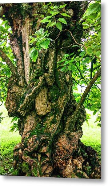 Old Catalpa Tree _ Chatham_3893_18 Metal Print