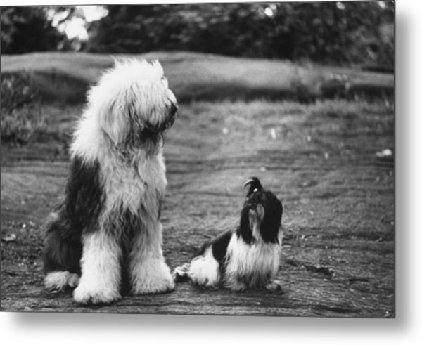Old English Sheep Dog L With Little Sh Metal Print