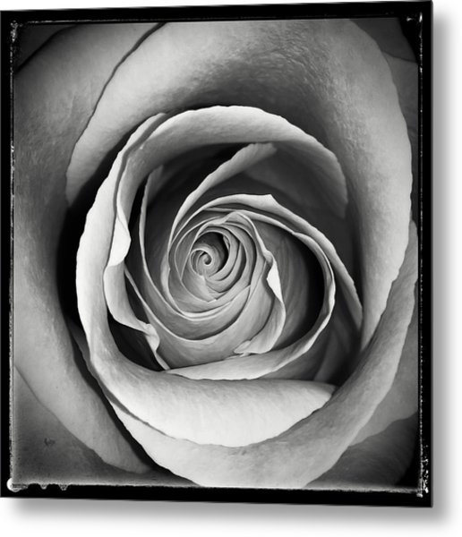 Old Rose Metal Print