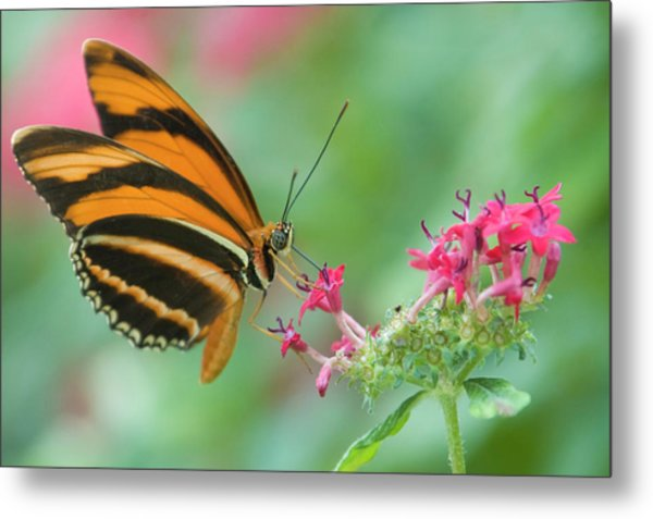 Orange Butterfly Feeding On Pink Flowers Metal Print by By Ken Ilio