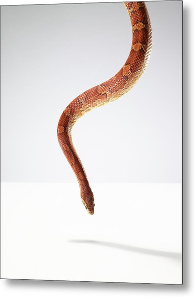 Orange Snake Hovering Above The Table Metal Print by Michael Blann
