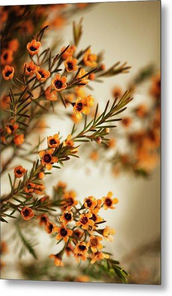 Orange Waxflowers Chamaelaucium Metal Print