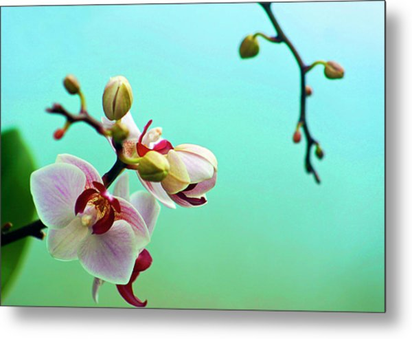 Orchids Out For A Breath Of Fresh Air Metal Print by Photo By Alan Shapiro
