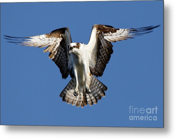 Metal Print featuring the photograph Osprey by Sue Harper