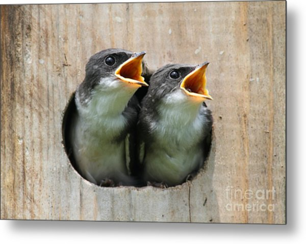 Pair Of Hungry Baby Tree Swallows Metal Print