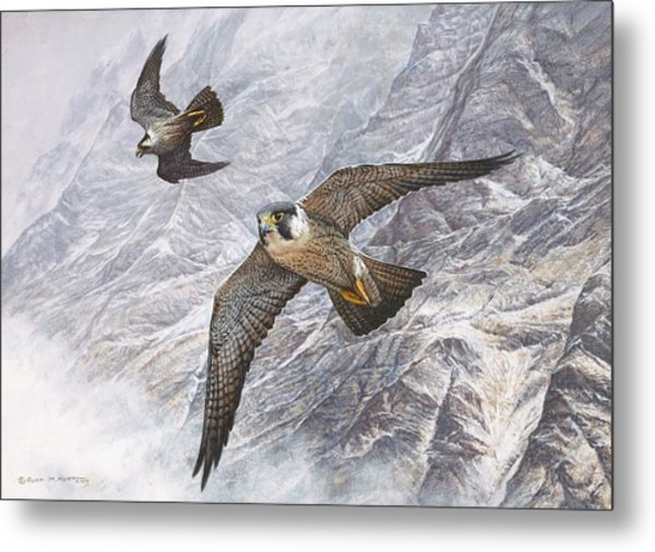 Pair Of Peregrine Falcons In Flight Metal Print