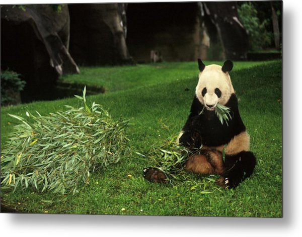Panda Yen Yen Celebrates His 25th Metal Print by Xavier Rossi