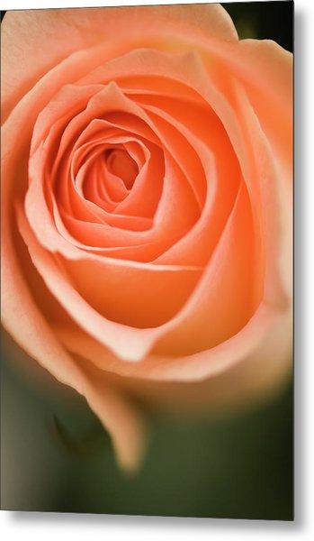 Peach Colored Single Rose Flower Metal Print