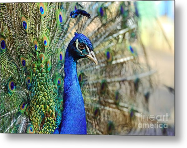 Peacock In The Wild On The Island Of Metal Print