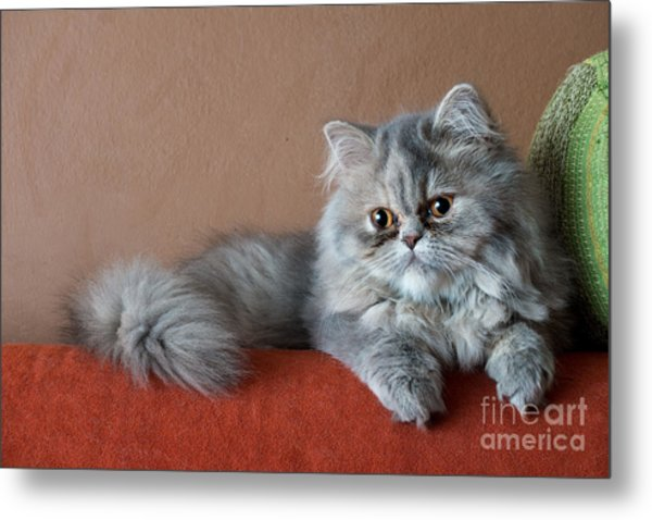 Persian Cat On The Couch Metal Print