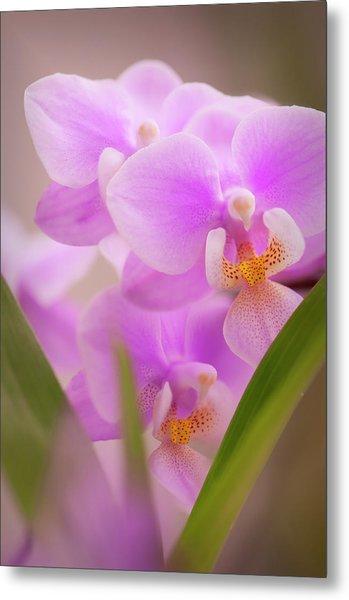Phalaenopsis Jiahos Pink Girl Sweet Metal Print