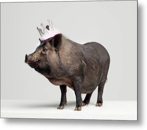 Pig With Toy Crown On Head, Studio Shot Metal Print by Roger Wright