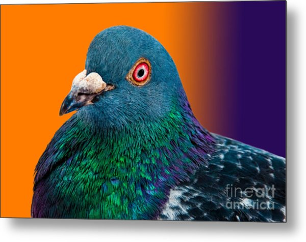 Pigeon Close Up Portrait Isolated In Metal Print