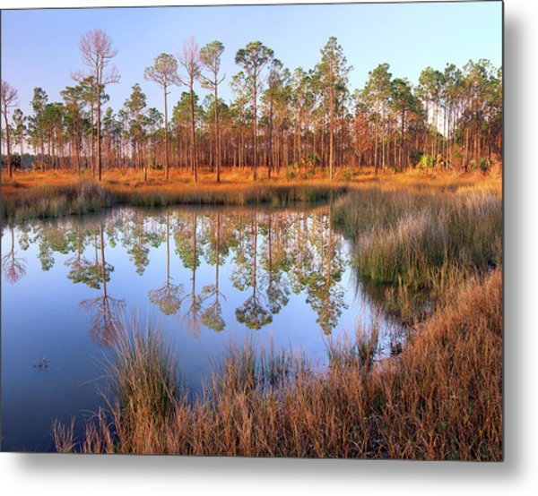 Pines Reflected In Pond Near Piney Metal Print by Tim Fitzharris/ Minden Pictures