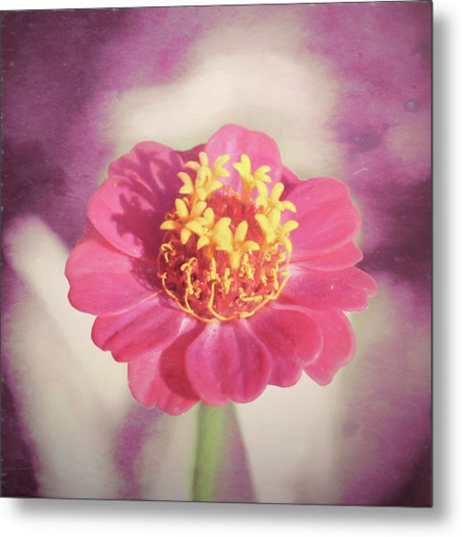 Pink Zinnia Isolated Metal Print