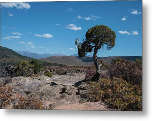 Pinyon Pine With North Rim In Background Black Canyon Of The Gunnison Metal Print