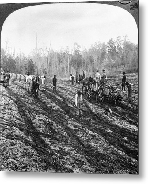 Planting Sugar Cane In Georgia Metal Print by Hulton Archive