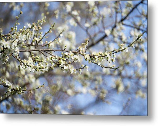 Plum Blossoms - 19 4907 Metal Print