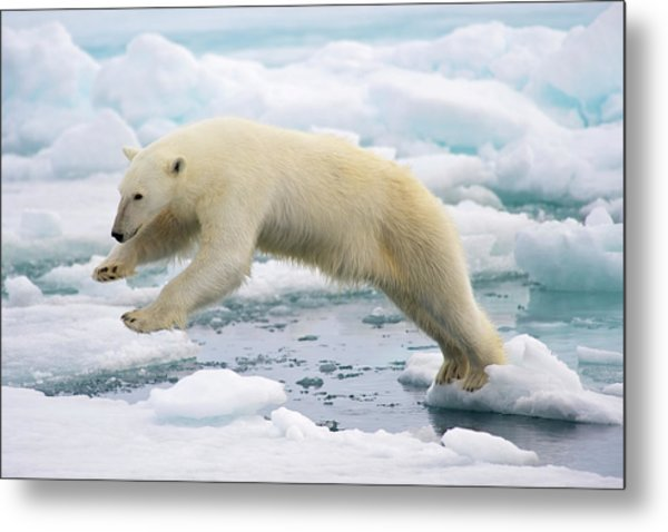 Polar Bear Jumping In The Fast Ice Metal Print by Arturo De Frias Photography