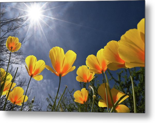 Metal Print featuring the photograph Poppies Enjoy The Sun by Chance Kafka