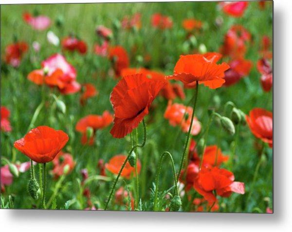 Poppies In The Field Metal Print
