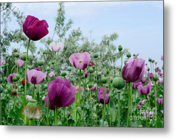 Poppy Flower. Variety Of Colors. Very Metal Print