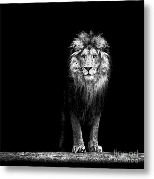 Portrait Of A Beautiful Lion, In The Metal Print by Baranov E
